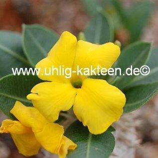 Pachypodium brevicaule   Madagaskar