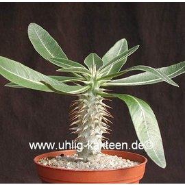 Pachypodium densiflorum   Madagaskar