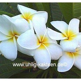 Plumeria-Hybr. ´Samoan Fluff´ ´Frangipani´  Blüte weiß / white