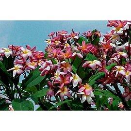 Plumeria-Hybr. ´Sholi Rainbow´  ´Frangipani´ Blüte rosa-weißgelb / pink-whiteyellow