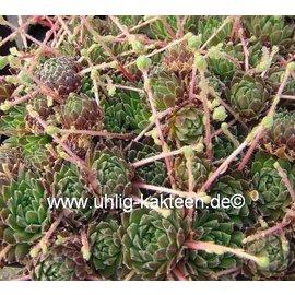 Sempervivum arachnoideum  v. pumilum     (dw)