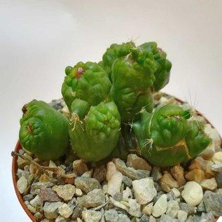 Mammillaria bocasana-monstruosa cv. Fred