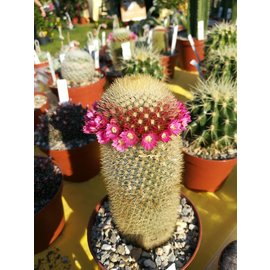 Mammillaria swinglei KKR 127  Guaymas, Sonora, Mexiko