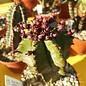Euphorbia anoplia