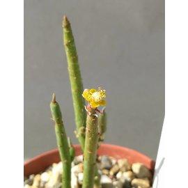 Euphorbia schimperi