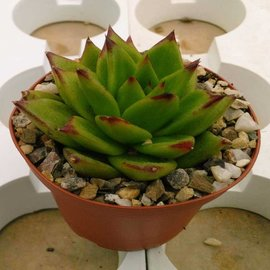 Echeveria agavoides cv. Red Top