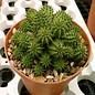 Euphorbia suzannae    Kleine Karoo, Südafrika