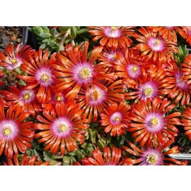 Delosperma Red Fire       (dw)