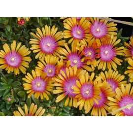 Delosperma New Fire       (dw)