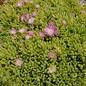 Delosperma nubigenum  cv. ´Rosenteppich´     (dw)