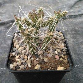 Corynopuntia parishii LZ 267   W. Cameron, (syn. Opuntia stanlayi v. parishii)    (dw)