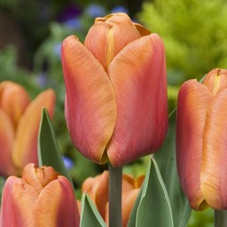 Tulp Brown Sugar