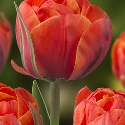 Tulip Queensday