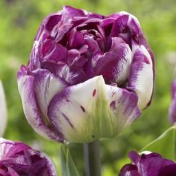 Tulip Jericho