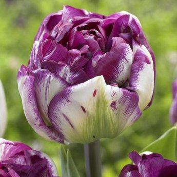 Tulipa Jericho