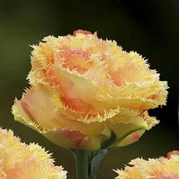 Tulpe Vaya Con Dios