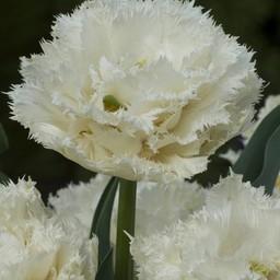 Tulip Snow Planet