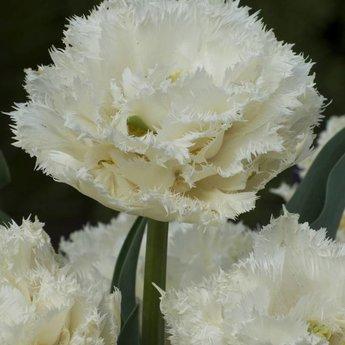Tulipa Snow Planet
