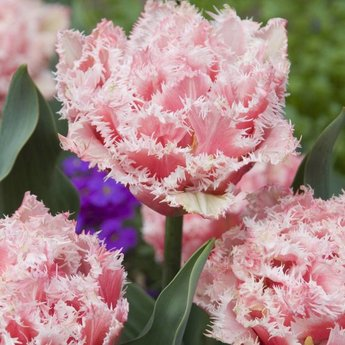 Tulipa Queensland