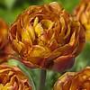Tulpe Brownie