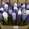 Hyacintenmix Blue Romance