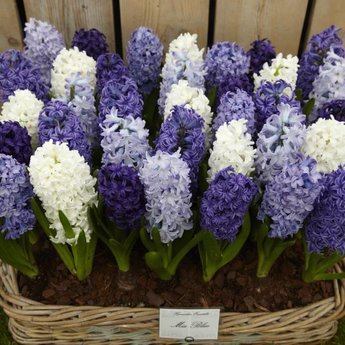Hyacinthus Blue Romance