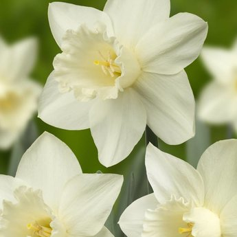 Narcissus Snowy Mountain