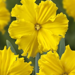 Narcis Gold Disc