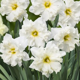 Daffodil Chantez