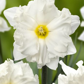 Narcissus Chantez