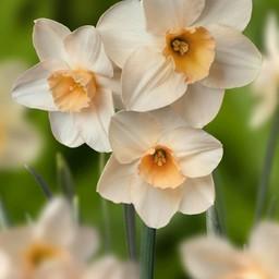 Narcis Prosecco