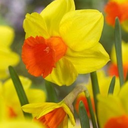 Daffodil Classic Garden