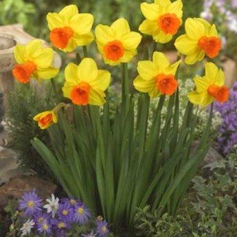 Narcissus Classic Garden