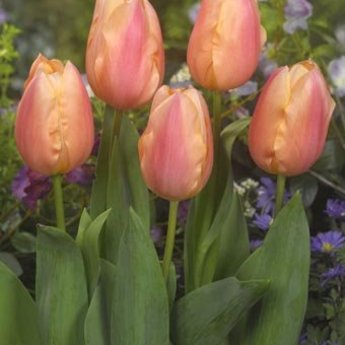 Tulipa Apricot Favourite
