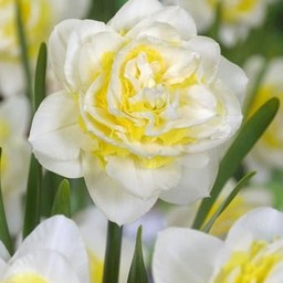 Daffodil Lingerie