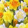 Daffodil mixture Peony Trio