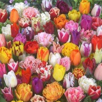 Tulipa Tulip Store 75 Tage Tulpen Mix