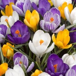 Crocus Big Party