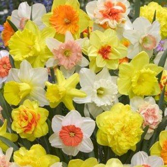 Narcissus Tulip Store 75 days Narcissus Mix