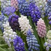 Grape hyacinths mixture