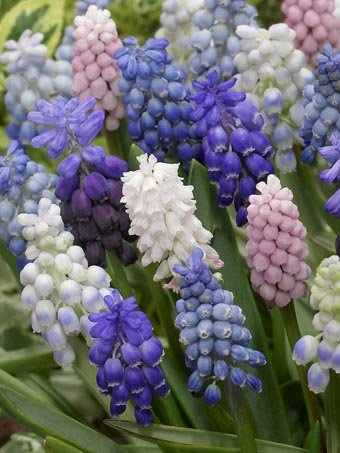 A Spectacular Blend Of Grape Hyacinths 15 Pieces Size 5 Bulbs Will Be Sent Directly No Shipping Costs