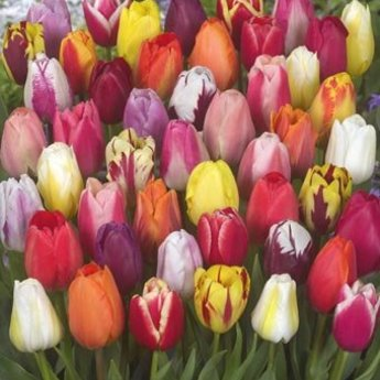 Tulipa Color Parade