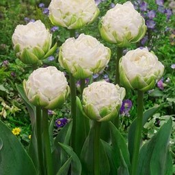 Tulpe White Mountain