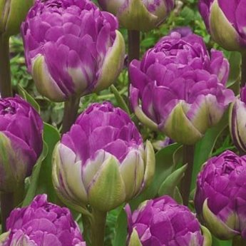 Tulipa Blue Wow