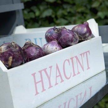 Hyacinthus Pastel Romance