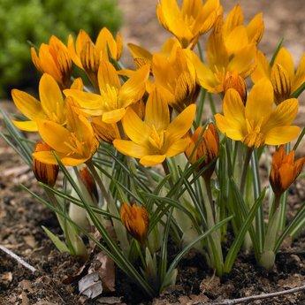 Krokus Orange Monarch