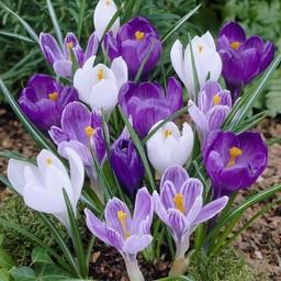 Krokus Early Purple