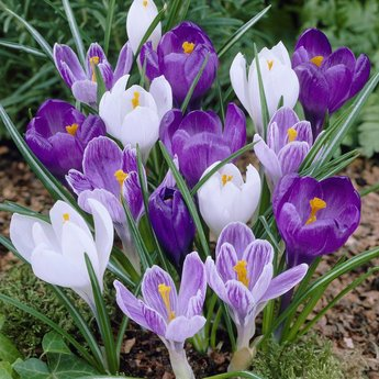 Crocus Early Purple