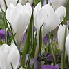 Crocus Jeanne d'Arc