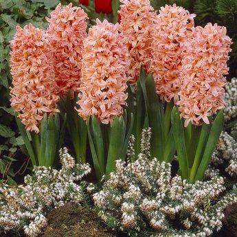 Hyacinthus Gipsy Queen